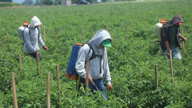 El glifosato se utiliza para eliminar malezas en los cultivos / Foto: Archivo Cuartoscuro