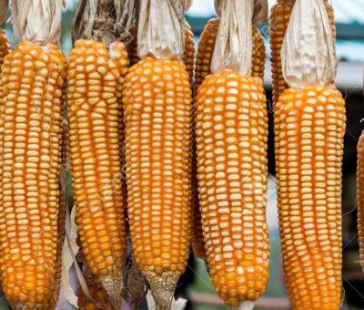 Confirma Corte veto a maíz transgénico. Reforma |